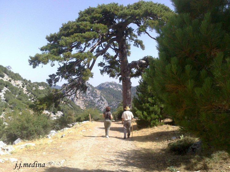 Pinos en la Sierra de Cazorla