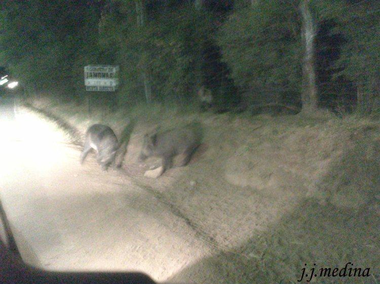 Jabalíes en la carretera